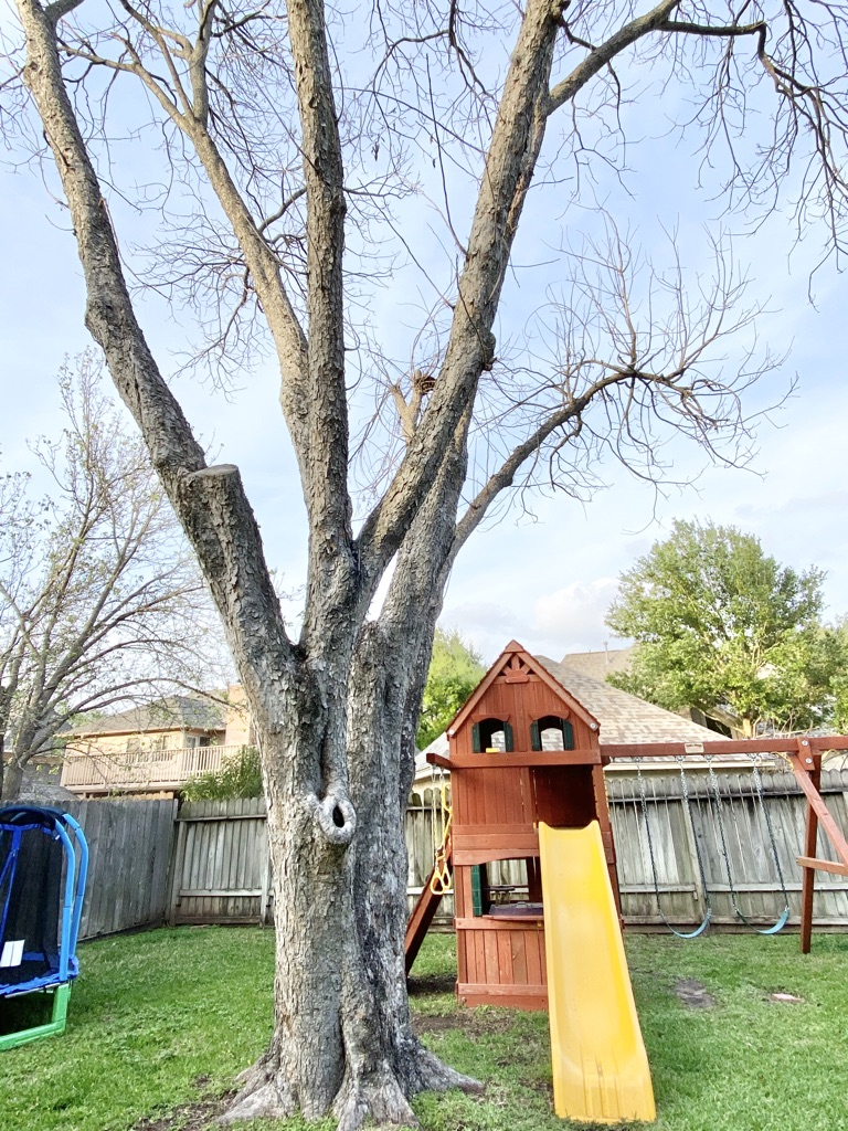 texas pecan tree with swings in the background