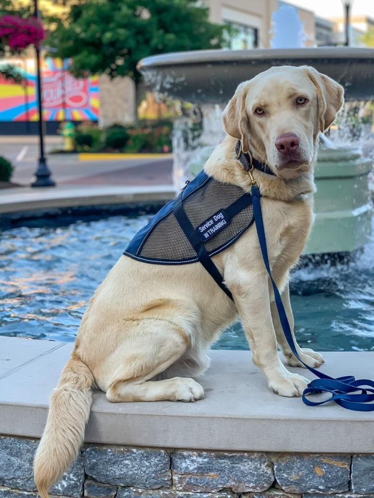 diabetes service dog in training